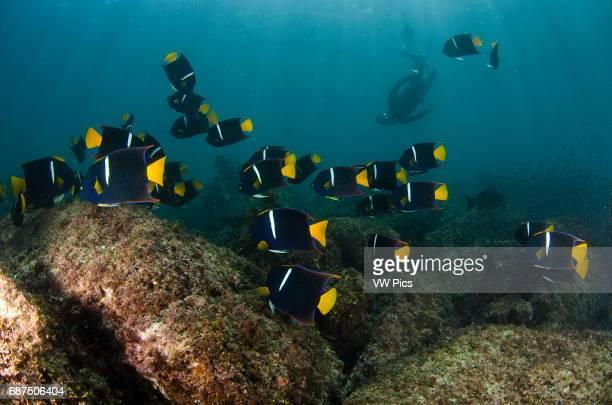 free diver champion Maria Teresa Solomons among a school of king angelfish Holacanthus passer at San Pedro Martir island Sea of Cortez Baja...