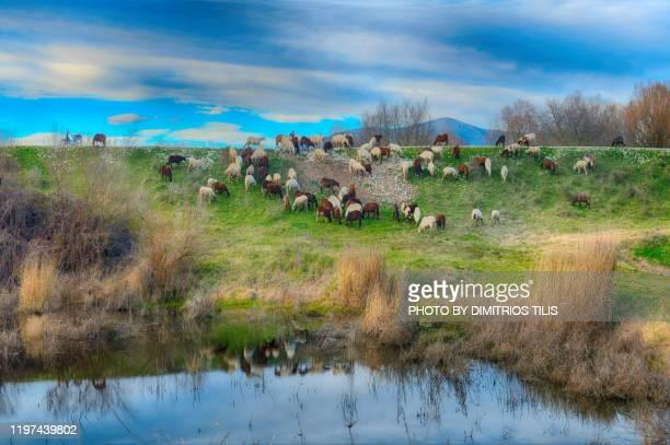 free grazing at nomi - dimitrios tilis stock pictures, royalty-free photos & images