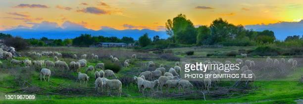 free grazing sheep flock at sunset panorama - dimitrios tilis stock pictures, royalty-free photos & images