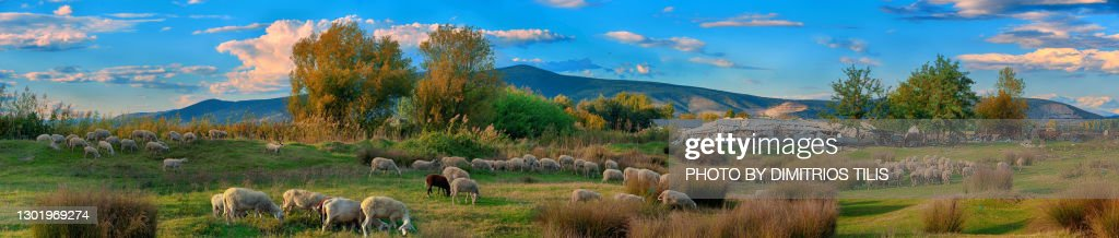 Free grazing sheep flock panorama 10 : Stock Photo