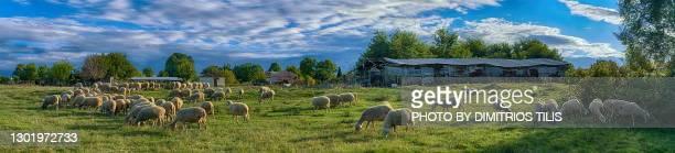 free grazing sheep flock panorama 7 - dimitrios tilis stock pictures, royalty-free photos & images
