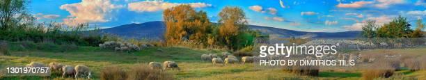 free grazing sheep flock panorama - dimitrios tilis stock pictures, royalty-free photos & images