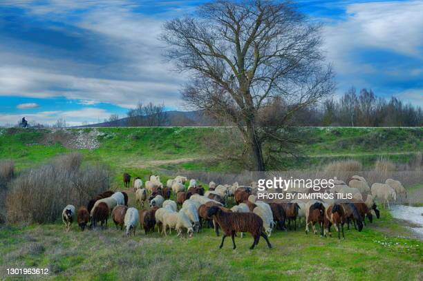 free grazing sheep flock - dimitrios tilis stock pictures, royalty-free photos & images