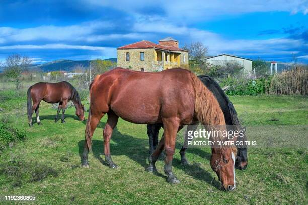 free horses in front of old mansion house - thessaly stock pictures, royalty-free photos & images
