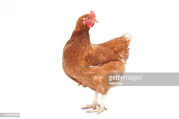 pollo ruspante marrone hen - gallo foto e immagini stock