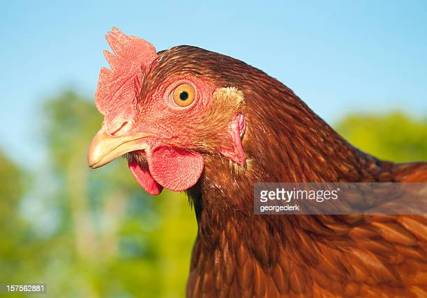 free range chicken close-up - beak stock pictures, royalty-free photos & images