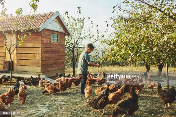 élevage de poulets de libre parcours - poulailler photos et images de collection