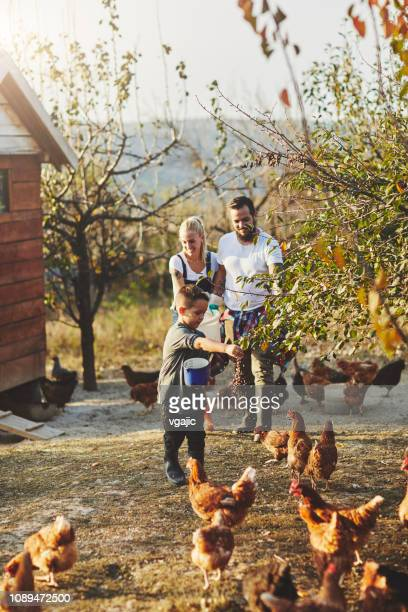 free range chicken farm - animal related occupation stock pictures, royalty-free photos & images
