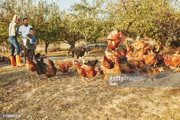無料の範囲鶏ファーム - 放し飼いの鶏 ストックフォトと画像