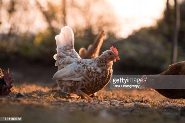 free range chicken - gallina fotografías e imágenes de stock
