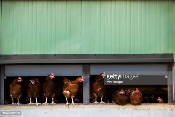 free range chickens emerging from a hen house. - organic stock pictures, royalty-free photos & images