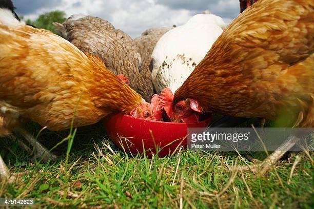 Free range chickens feeding