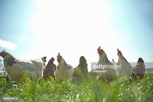 free range chickens grazing in field - medium group of animals stock pictures, royalty-free photos & images