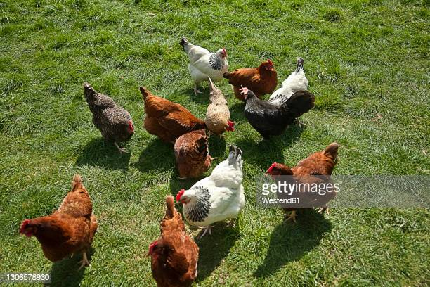 free range chickens grazing in field - elevated view stock pictures, royalty-free photos & images