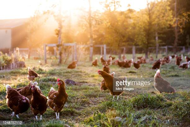free range chickens outdoors in early morning light on an organic farm. - farm stock pictures, royalty-free photos & images