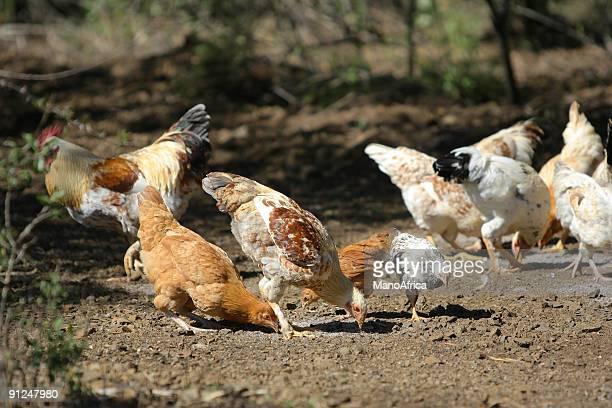 Free Range Chickens three