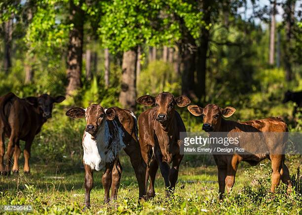 free range cow and calves - emery stock photos and pictures