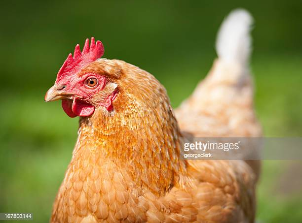 free range hen close-up - light brown eyes stock photos and pictures