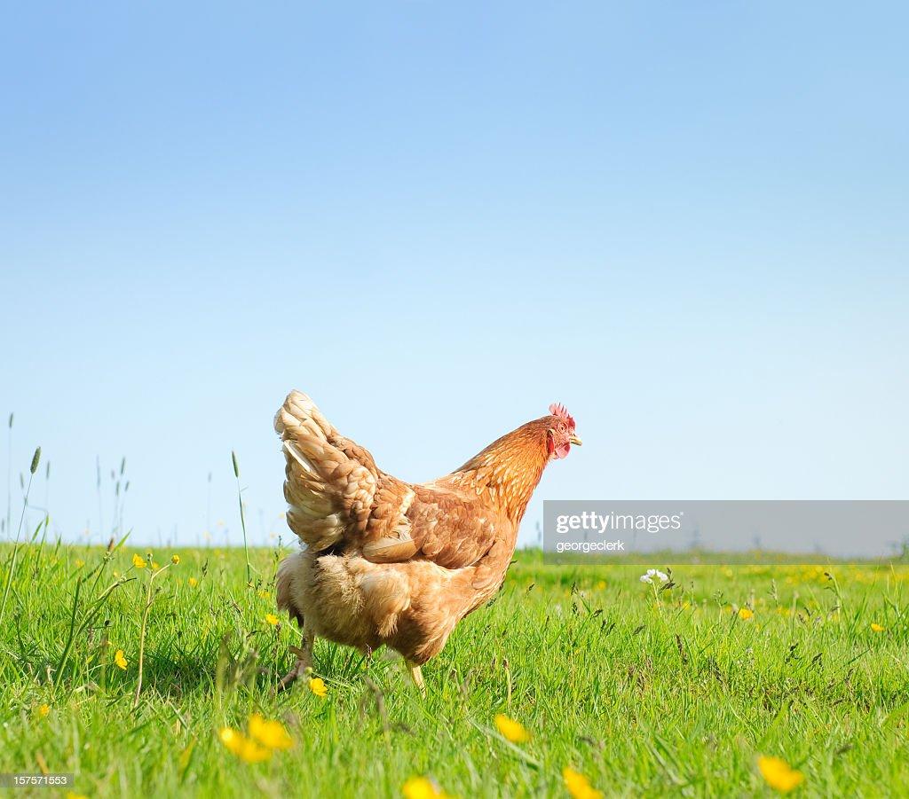 春に放し飼いの鶏 : ストックフォト