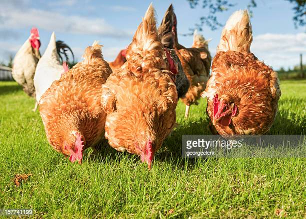 free range hens feeding - chicken bird stock photos and pictures