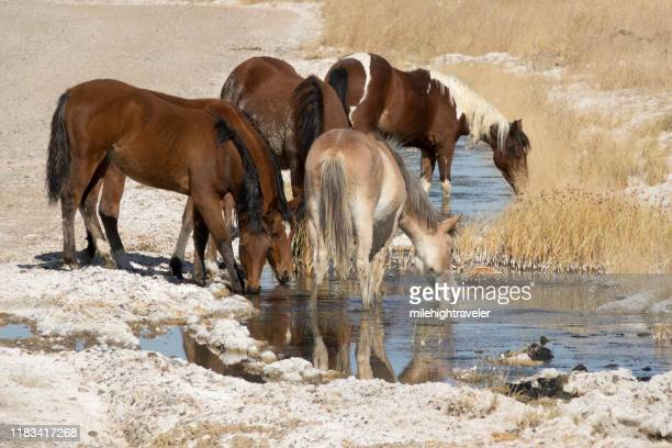 free range horses drink briny water bisti de-na-zin wilderness desert new mexico - milehightraveler stock pictures, royalty-free photos & images