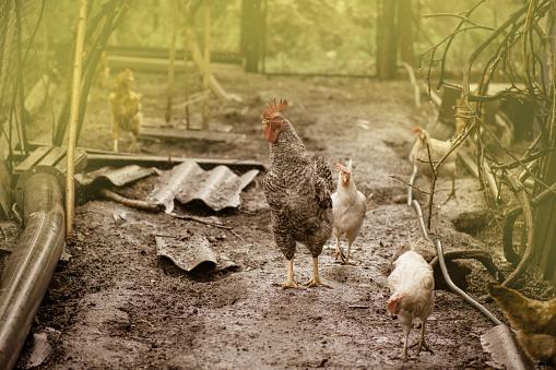 Free range living chicken on  farm. Hens  roam freely in green paddock 1161607343