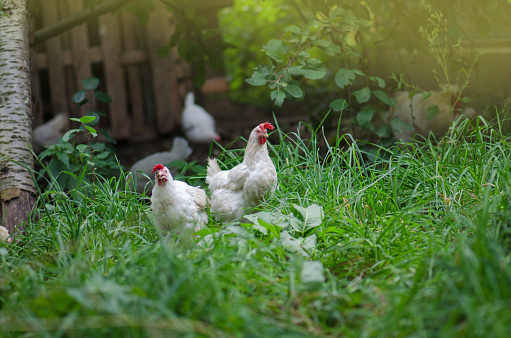Free range living chicken on  farm. Hens  roam freely in green paddock 1161617390