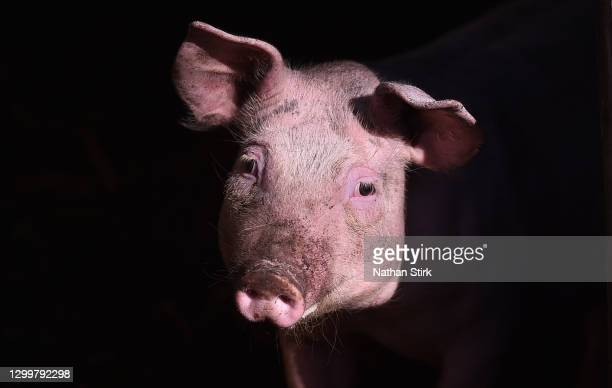 Free range pig enjoys the sun at Biddulph Park on February 01, 2021 in Biddulph, England .
