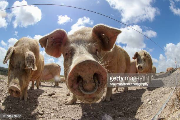 "free range pig farm on south downs - ""paul mansfield photography"" stock pictures, royalty-free photos & images"