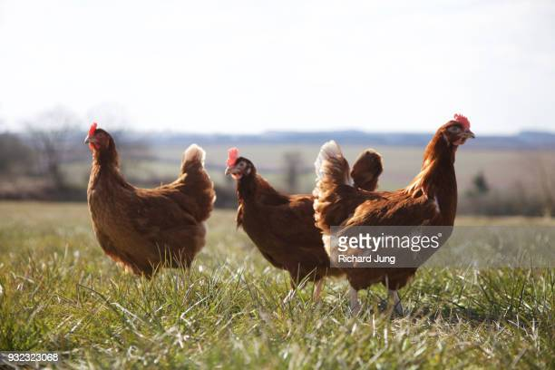 Free range Rhode Island Red chickens roaming in grass meadow