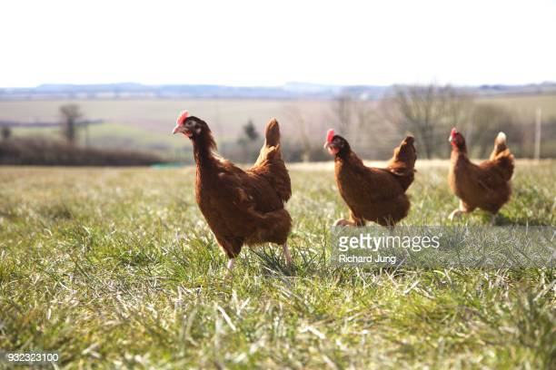 46 Rhode Island Red Hen Pictures, Photos & Images - Getty Images