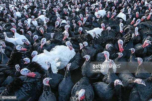 Free range turkeys at David McEvoys farm from Termonfeckin Delicious Tullyallen Co Lougth Ireland on Wednesday 23 November 2016