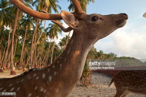 free roaming deer, spotted deer or axis deer, ross island, india - argenberg imagens e fotografias de stock
