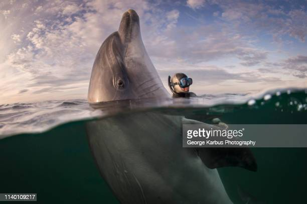 freediver and bottlenose dolphin, inisheer island, ireland - dolphin stock pictures, royalty-free photos & images