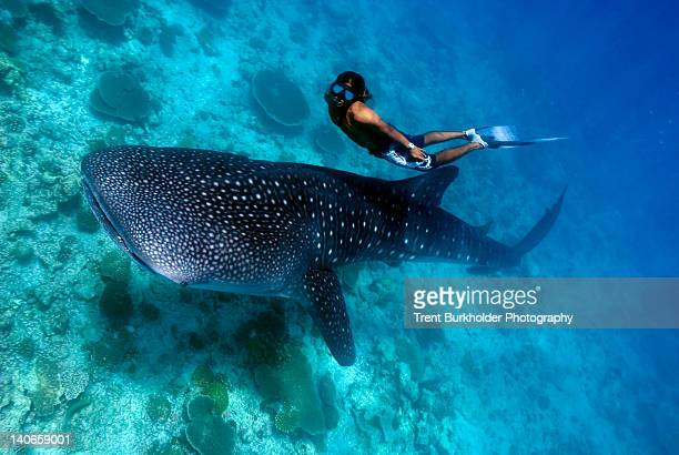 freediver and whale shark (rhincodon typus) - whale shark stock pictures, royalty-free photos & images