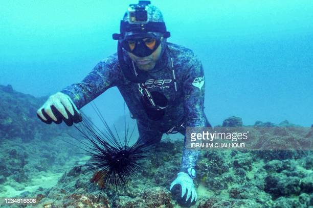 Freediver prepares to collect a specimen of Diadema setosum long-spined sea urchin, typically native to Indo-Pacific waters and currently invading...