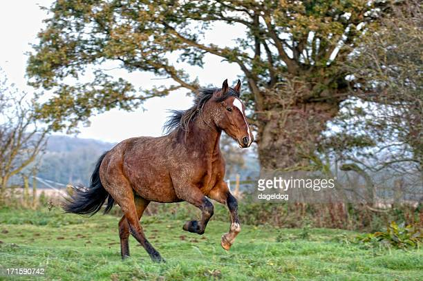 freedom at last - bay horse stock photos and pictures