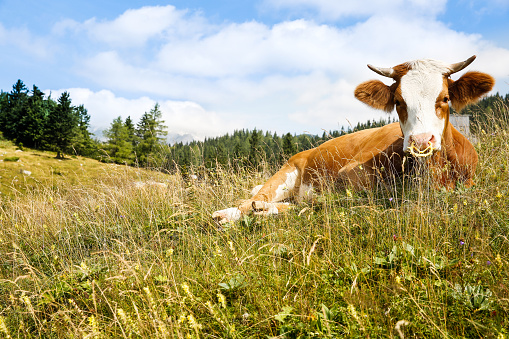 Freely grazing cow on an idyllic pasture 483994106