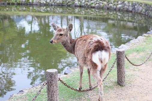 Freely walking deer in Nara, Japan 492151003