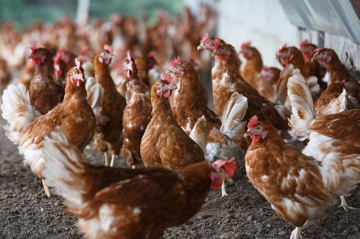 Free-range chicken freely grazing outside 514229420