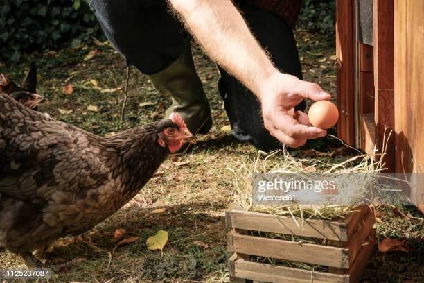 free-range chicken, hand holding hen's egg - hen stock pictures, royalty-free photos & images