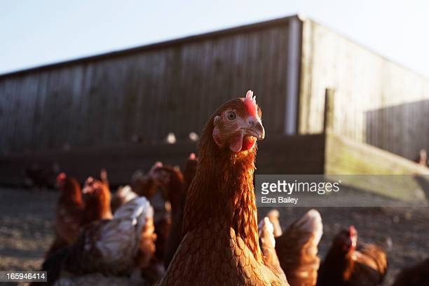 Free-range chicken on a farm on Cornwall, UK.