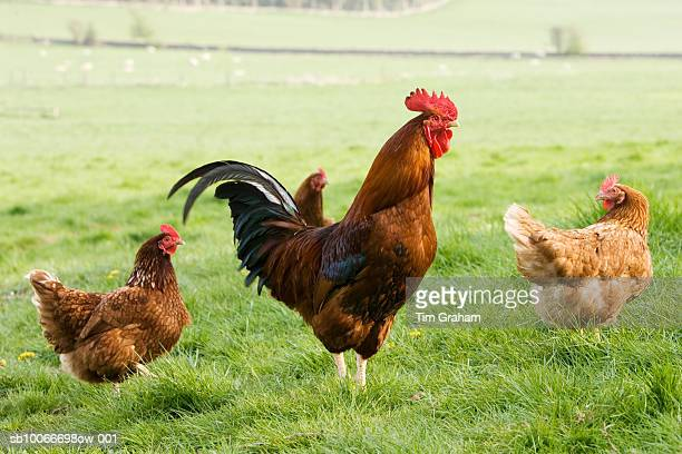 free-range chickens, chedworth, uk - rooster stock photos and pictures