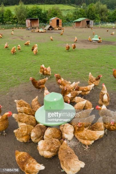 Free-range chickens feeding