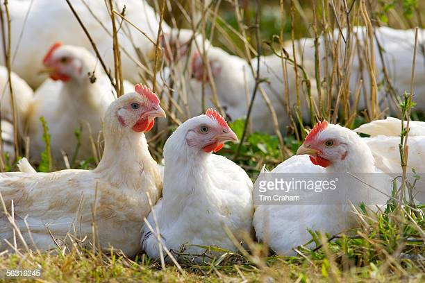 Freerange chickens of breed Isa 257 roam freely at Sheepdrove Organic Farm Lambourn England