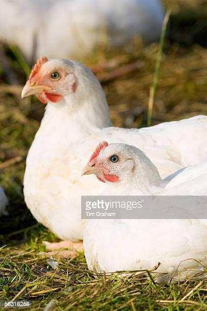 Freerange chickens of breed Isa 257 roam freely at Sheepdrove Organic Farm Lambourn England