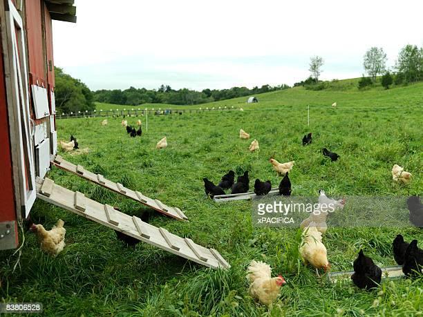 Free-range chickens on farm