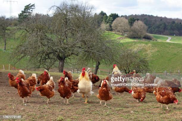 free-range chickens with outlet in meadow, hesse, germany - allevamento foto e immagini stock