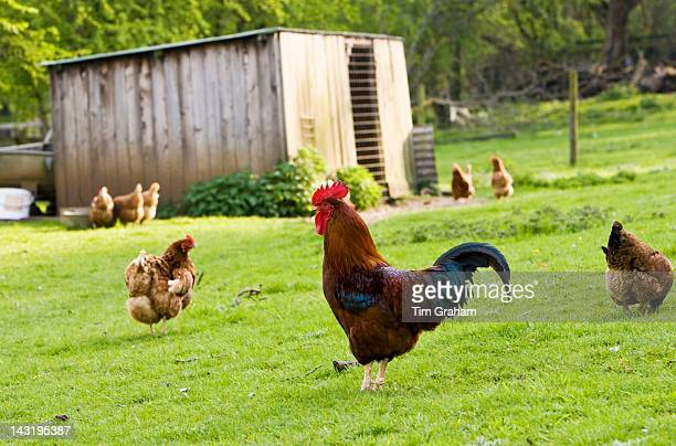 Freerange cockerel and hens in pasture Chedworth The Cotswolds Gloucestershire England United Kingdom