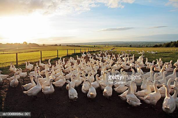 Free-Range Geese, Oxfordshire, UK